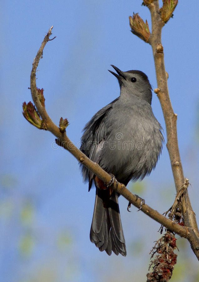 Download Male Gray Catbird Royalty Free Stock Image - Image: 24685206