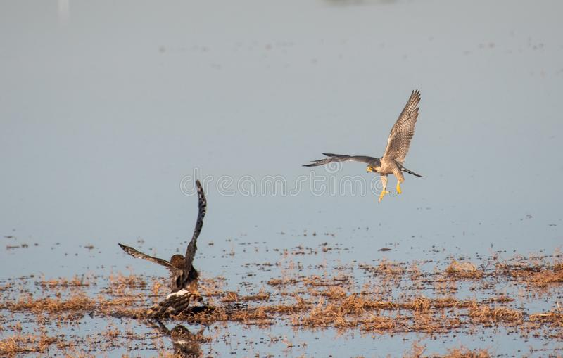 A male and a female harrier fighting for food. A male gray ghost and a female harrier fighting at the water over food royalty free stock image