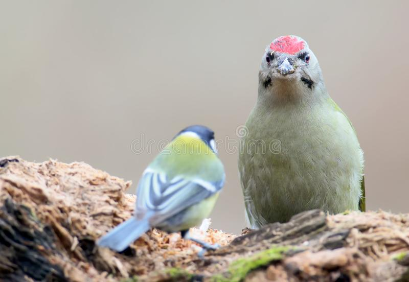 The male gray-headed woodpecker sits on the feeding stock photography