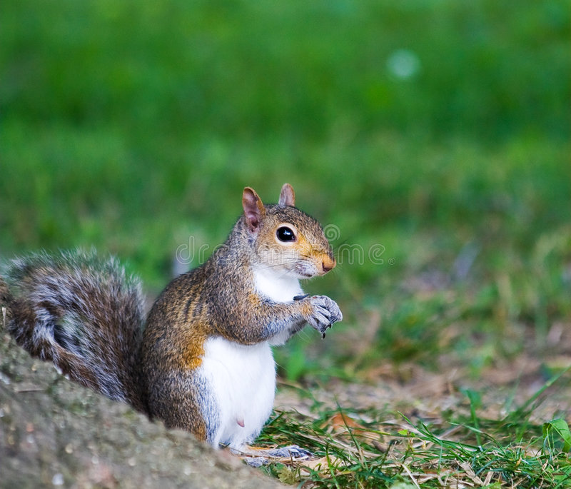 Male Gray Squirrel stock images