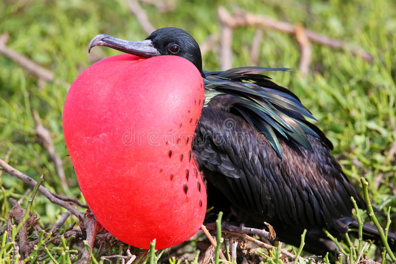Male Great Frigatebird on Genovesa Island, Galapagos National Pa royalty free stock photo