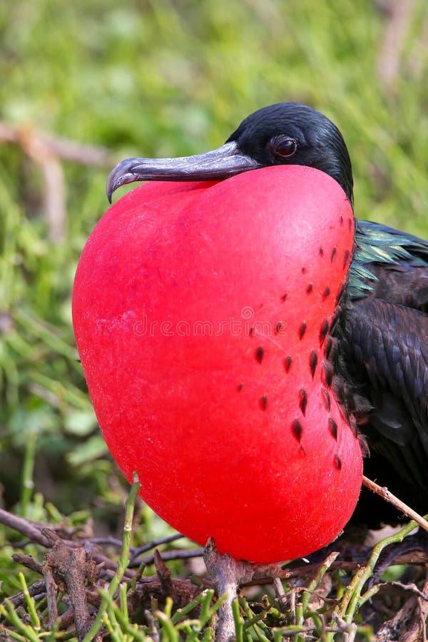 Male Great Frigatebird on Genovesa Island, Galapagos National Pa royalty free stock image