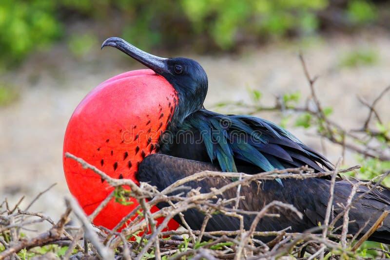 Male Great Frigatebird on Genovesa Island, Galapagos National Pa royalty free stock images