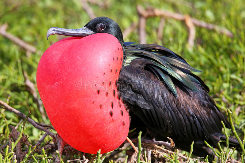 Download Male Great Frigatebird On Genovesa Island, Galapagos National Pa Stock Photo - Image of frigatebird, island: 79926976