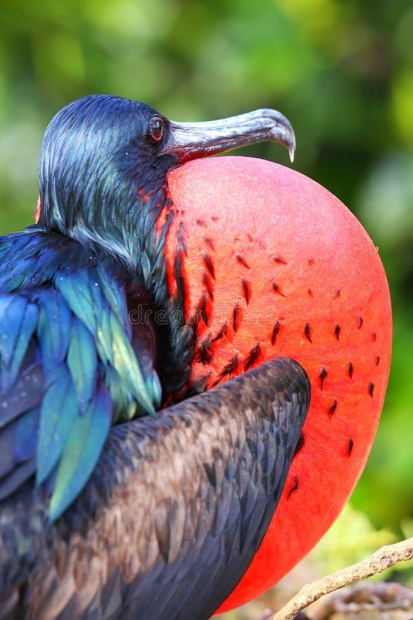 Male Great Frigatebird on Genovesa Island, Galapagos National Pa stock image