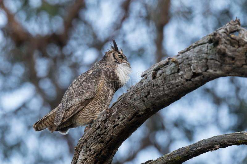 A male great horned owl hooting to its mate as the light begins to wane stock photography