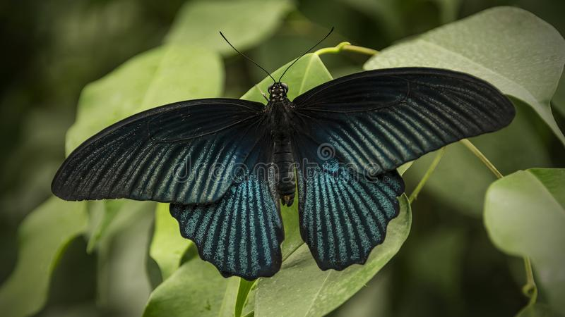 Great Mormon Butterfly. Male great mormon butterfly, papilio memnon, sitting on a green leaf presenting its wings stock photo