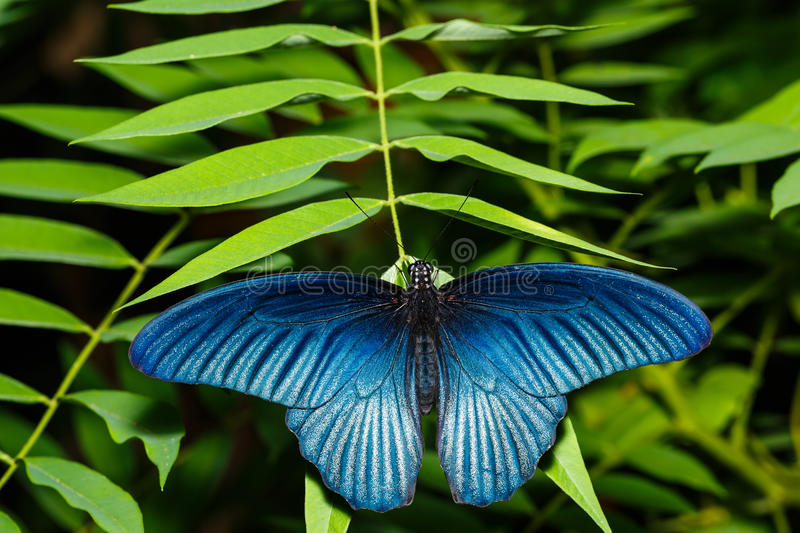 Male great mormon butterfly. Resting on leaf royalty free stock photography