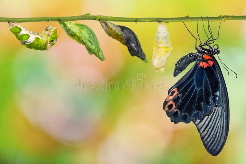 Male Great Mormon Papilio memnon butterfly life cycle. From caterpillar to pupa and its adult form, isolated on white background with clipping path royalty free stock photography