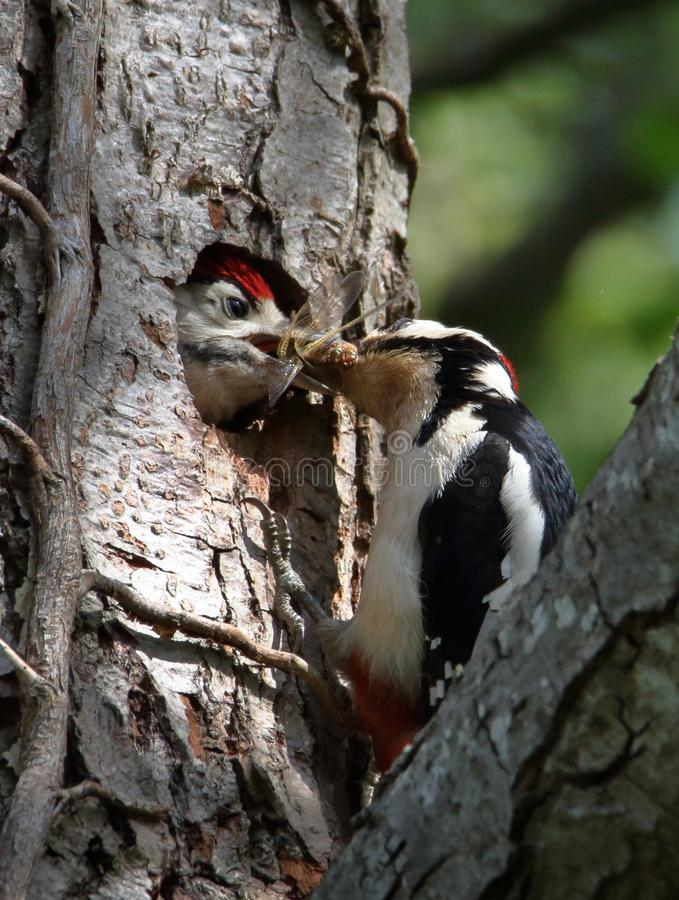 Great Spotted Woodpecker Chick Being Fed By Parent royalty free stock photo
