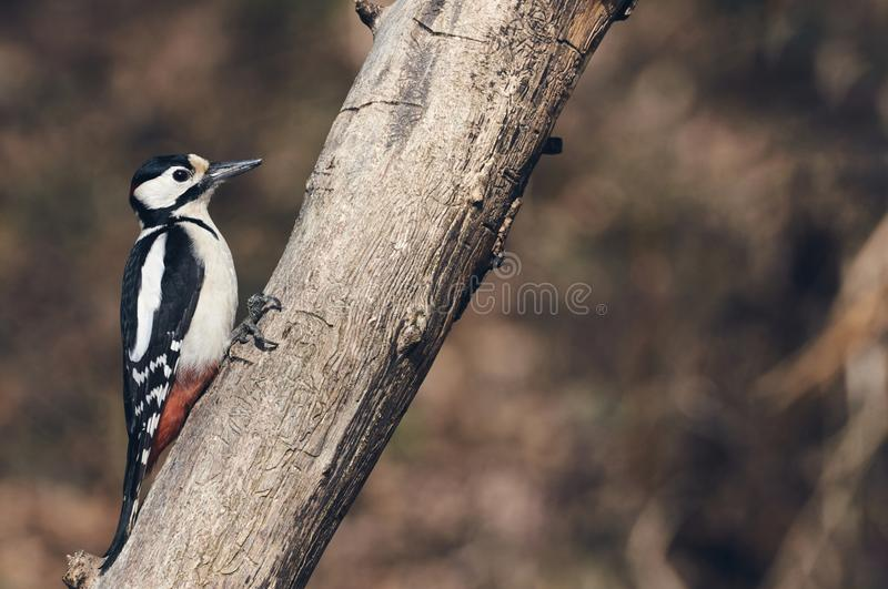 Male great-spotted woodpecker, matte style royalty free stock images