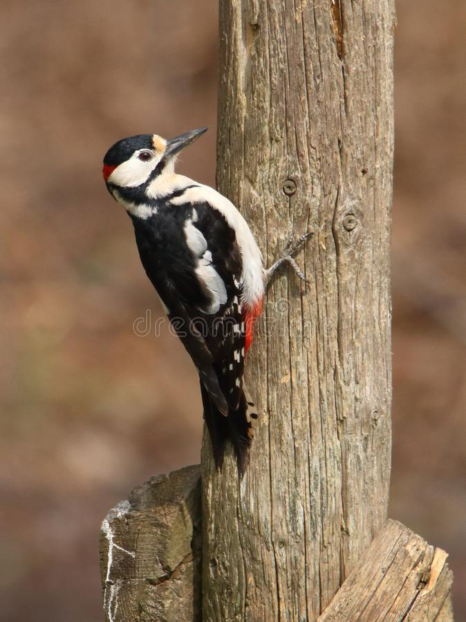 Male Great Spotted Woodpecker Perching On Post stock photo
