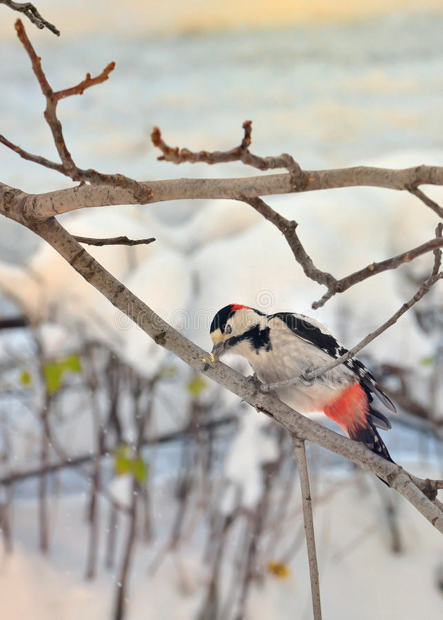Male great spotted woodpecker. And stuck in brunch tree royalty free stock photos