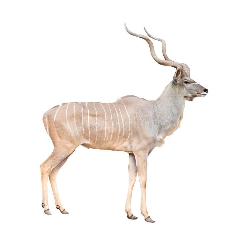 Free Male Greater Kudu Isolated Stock Photo - 63306390