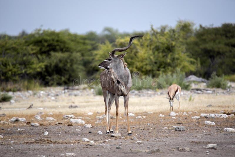 Male Greater Kudu, Tragelaphus strepsiceros goes to waterhole, Etosha National Park, Namibia. The male Greater Kudu, Tragelaphus strepsiceros goes to waterhole royalty free stock photo