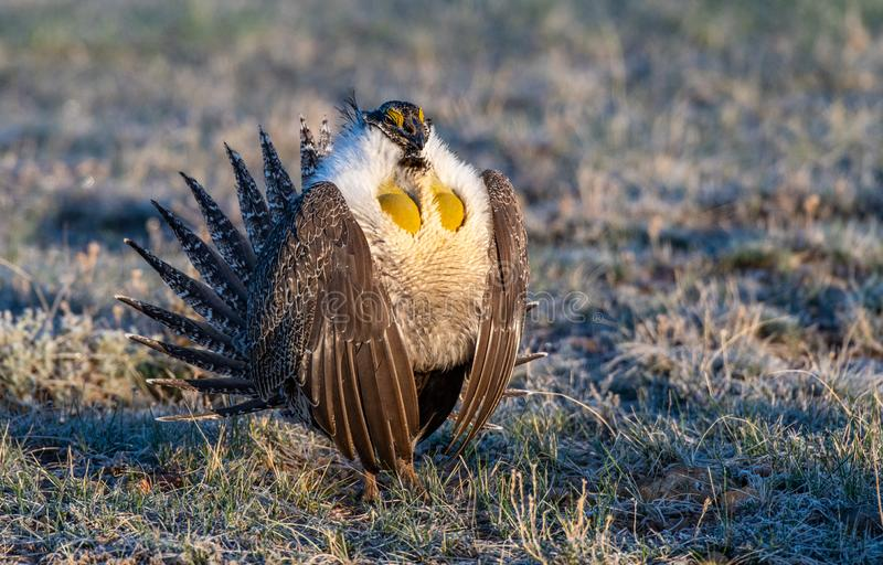 Greater-sage Grouse Performing Mating Ritual. A Male Greater Sage-Grouse Performing His Morning Mating Ritual to Attract a Mate royalty free stock image