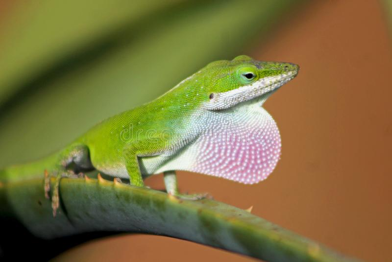 Male green anole displaying its pink dorsal ridge. The Carolina anole Anolis carolinensis is an arboreal anole lizard native to the southeastern United States stock photos