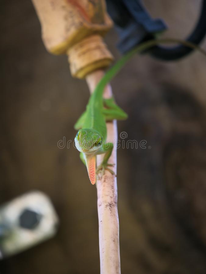 Male Green Anole with his Dewlap Extended, Looking Directly into the Camera. stock photo