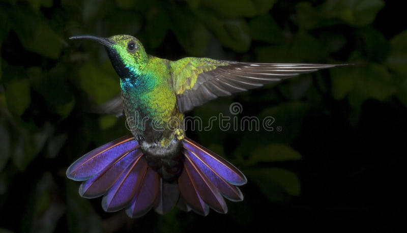 Male Green-Breasted Mango Hummingbird stock images
