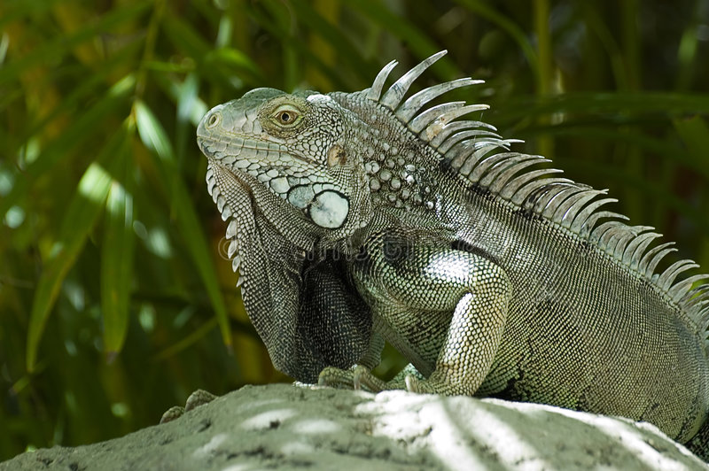 Male Green Iguana stock photo