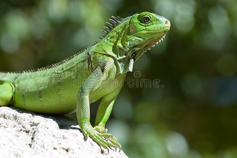 Male Green Iguana. Taken on Aruba; Shallow DOF stock image