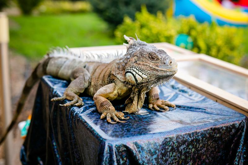 Male Green Iguana as a pet, sitting on the table stock photography