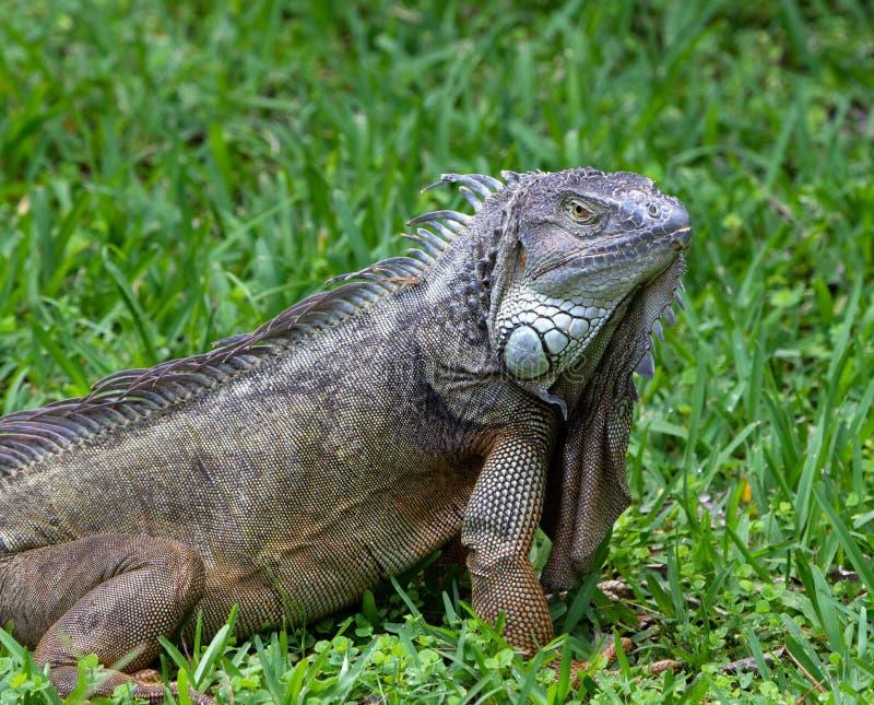 Male Green Iguana Close Up stock images