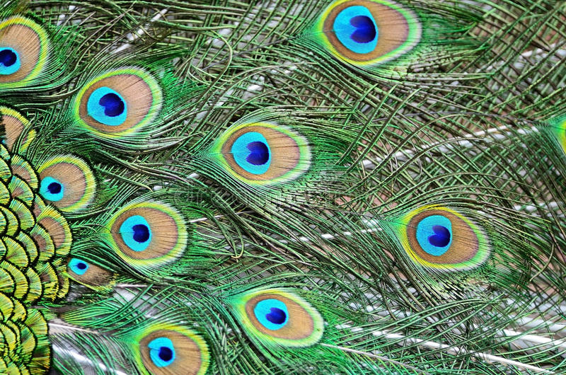 Male Green Peacock feathers stock image