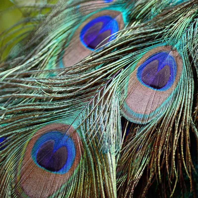 Male Green Peafowl feathers royalty free stock photo