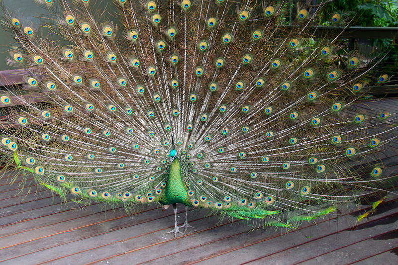 Download Male Green Peafowl (Peacock) Stock Image - Image: 17072947