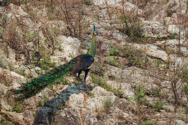 Male Green Peafowl (Peacock) in nature stock image