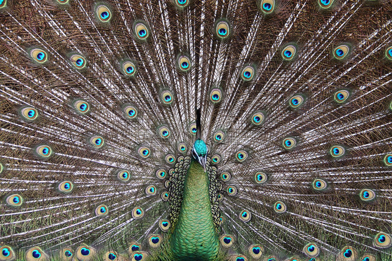 Male Green Peafowl (Peacock) - Pavo muticus stock photography
