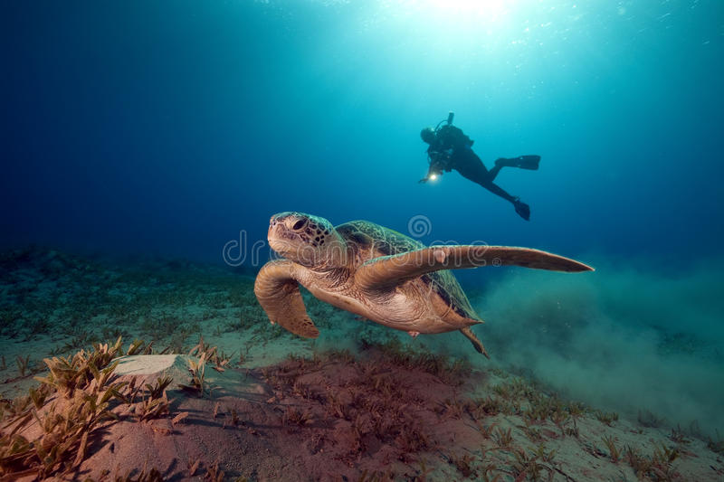 Male green turtle and videographer. stock images