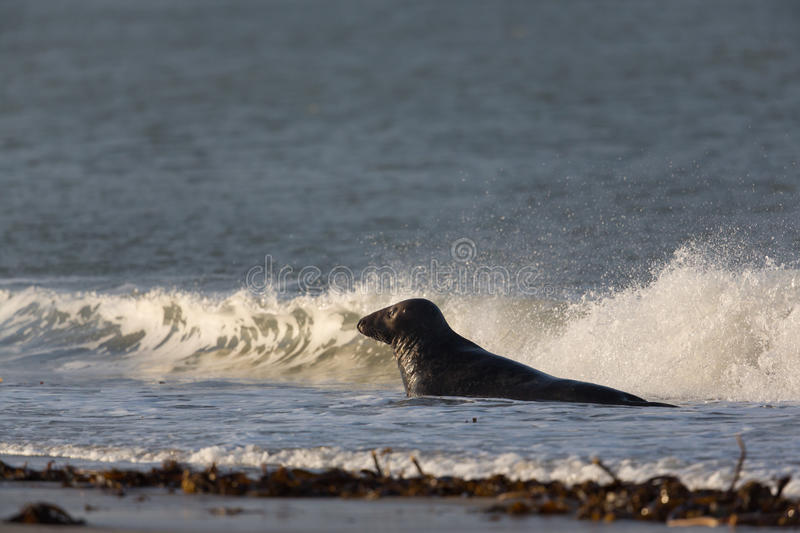 Male grey seal Halichoerus grypus. Swimming in the surge of waves stock photos