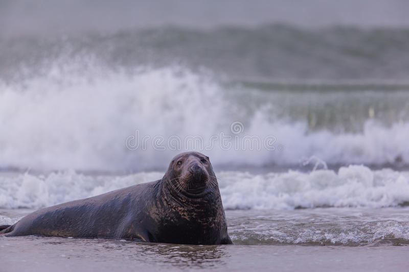 Male grey seal Halichoerus grypus. Swimming in the surge of waves stock images