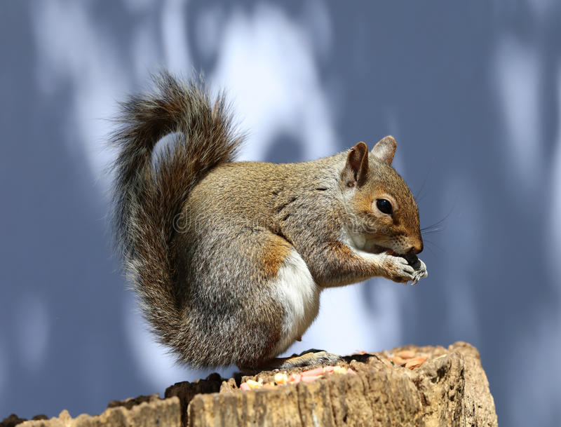Male Grey Squirrel stock photography