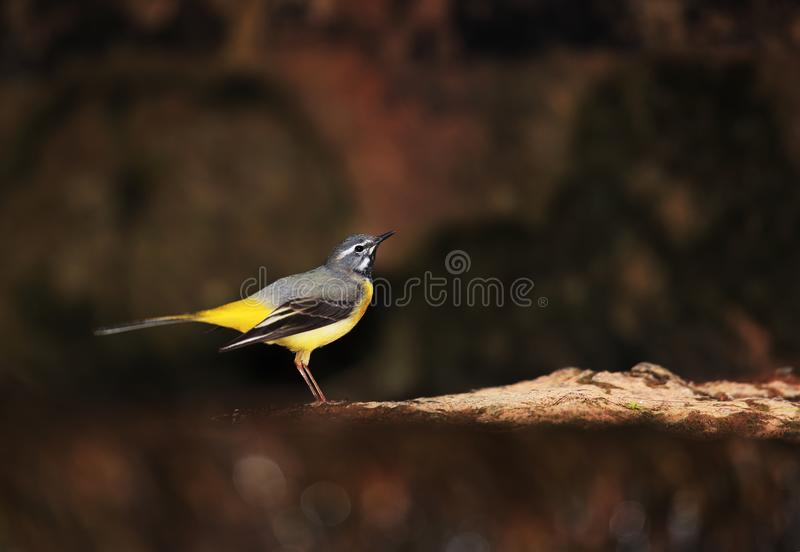 Download Male Of Grey Wagrail On Creek Stock Photo - Image of color, wagrail: 117629002