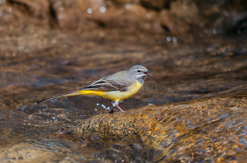 Male grey wagtail singing in a creek. A male grey wagtail (Motacilla cinerea) standing on a rock in a creek and singing in early spring royalty free stock image
