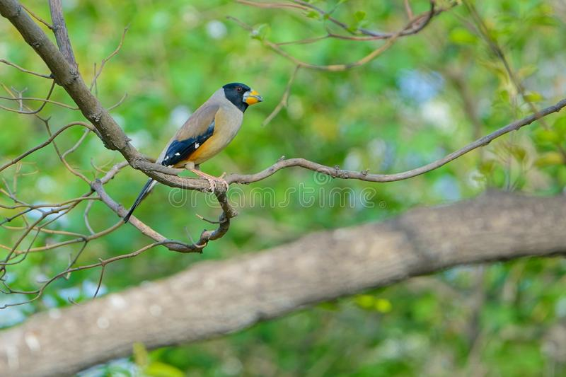 Male grosbeak. The close-up of a male grosbeak on branch. Scientific name:Cocothraustes migratorlus royalty free stock photo
