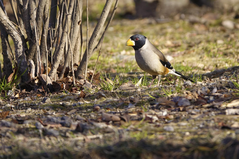 Male grosbeak. The close-up of a male grosbeak on ground. Scientific name:Cocothraustes migratorlus royalty free stock photos