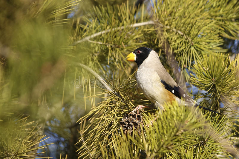 Male grosbeak. The close-up of a male grosbeak on pine branch. Scientific name:Cocothraustes migratorlus stock images