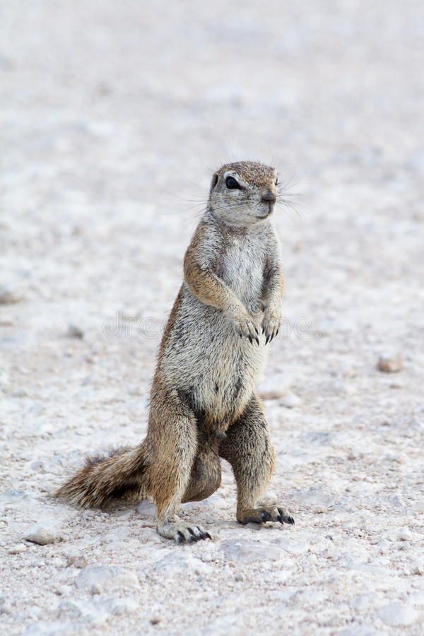 Male ground squirrel royalty free stock image