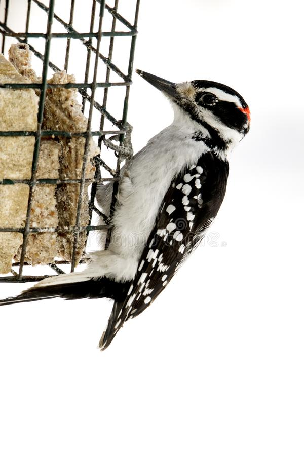 Male Hairy Woodpecker clinging to a suet cage isolated on white. royalty free stock image