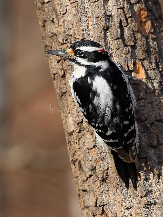 Male Hairy Woodpecker Closeup stock photos