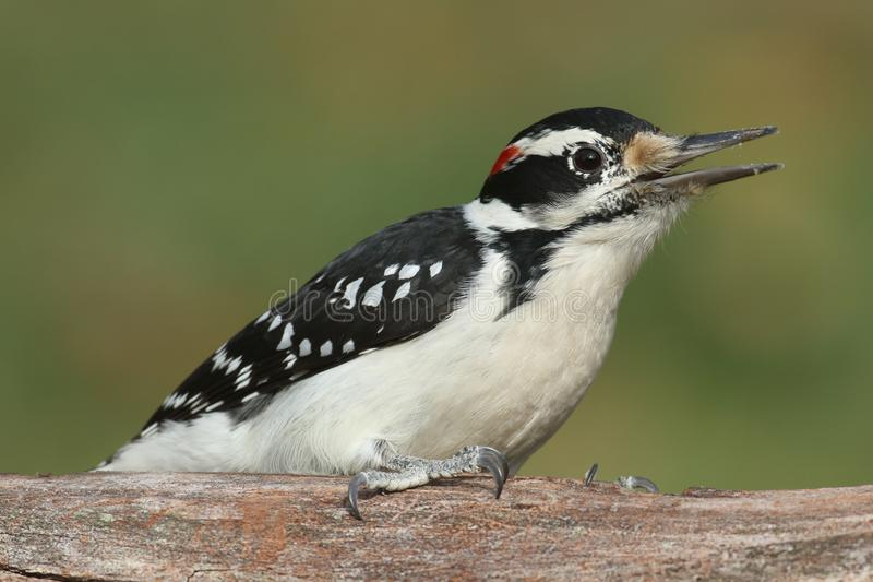 Male Hairy Woodpecker (Picoides villosus) stock images