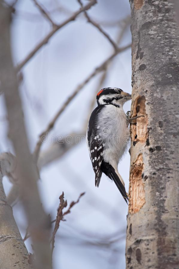 Male hairy woodpecker royalty free stock photo