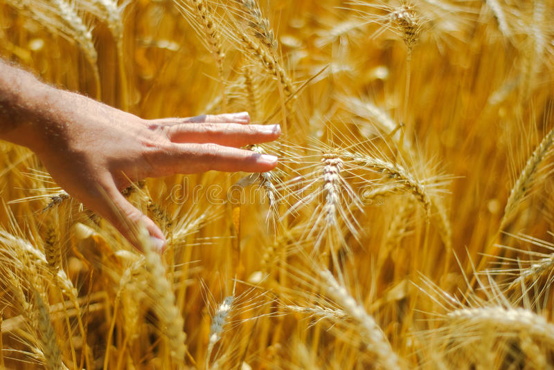 Male hand in corn-field royalty free stock image