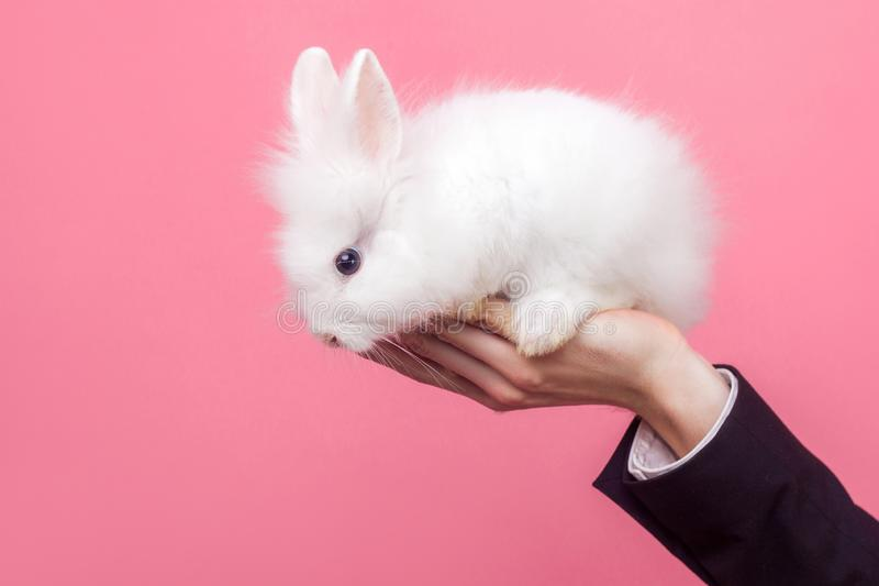 Male hand holding adorable white fluffy rabbit, cute bunny with black eyes, concept of people and pet care, love for domestic. Animals, pet adoption. indoor royalty free stock photo