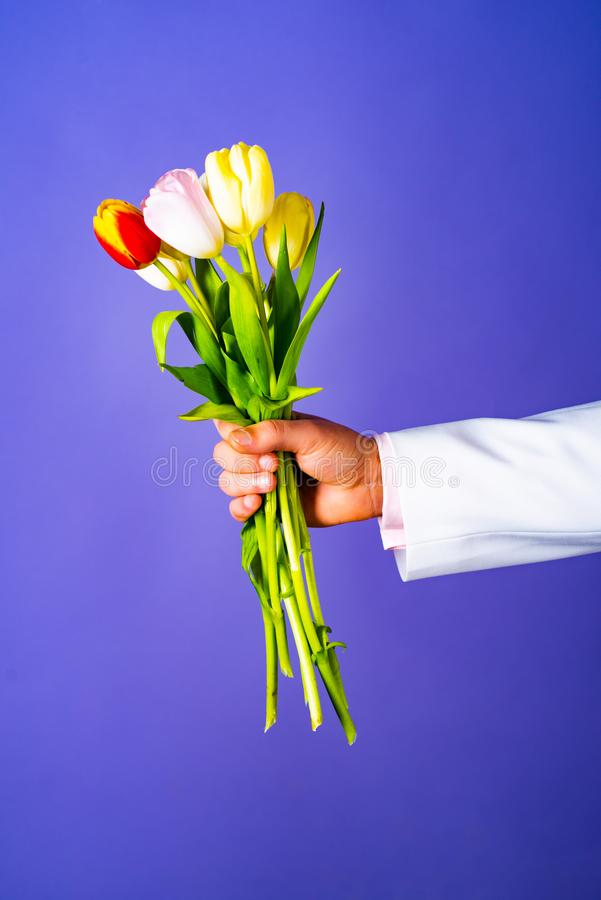 Male hand holding bouquet of fresh flowers on blue background. Businessman hand holding bouquet of red and white tulip stock photo