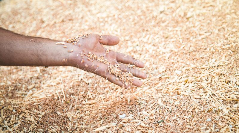 Male hand holding wheat grain royalty free stock photos